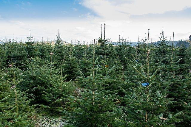 Weihnachtsbaum Zucht Plantage mit Tannen in Bayern