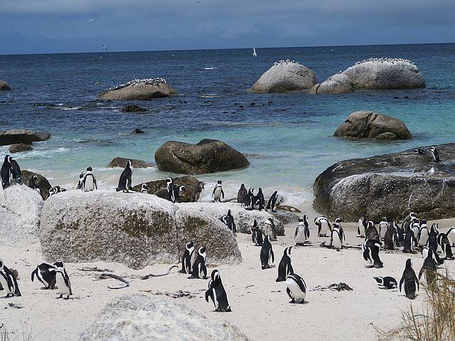 Kapstadt mit Kindern Pinguine Boulders Bay Kapstadt