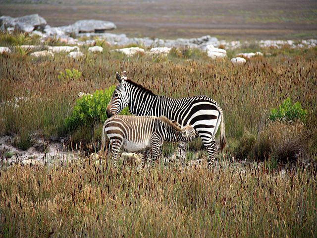 kapstadt mit Kindern Zebras Kapstadt