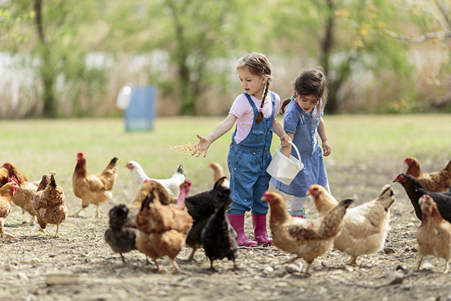 Hühnerfüttern auf dem Bauernhof